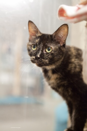 Lainey, a beautiful Tortie cat available for adoption